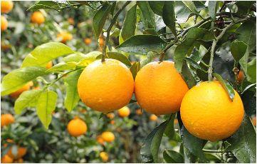 和歌山県の美味しい柑橘4種類からどれか1つを合計40名様にプレゼント!【みかん5㎏・大玉みかん9㎏・不知火5㎏・清見オレンジ5㎏】
