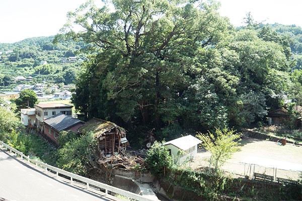 弘法大師ゆかりの学問の木を植樹したい!〈学問の木,葉書の木,郵便局の木,タラヨウ,多羅葉〉