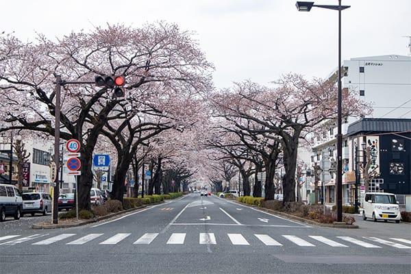 2020年 平和通り桜(駅側から)
