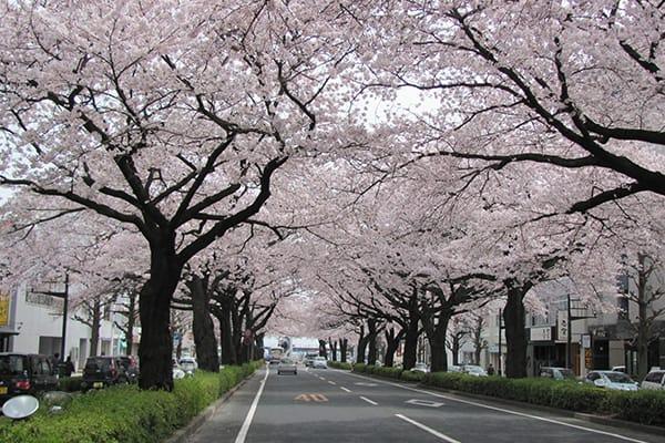 桜のトンネ平和通りの桜の様平和通りの桜の様子(約10年前)