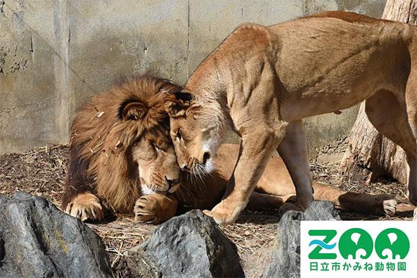 「生きる(いのち)」ってなんだろう?かみねで暮らす動物たちが幸せに暮らし、お客様は非日常空間である動物園を思いっきり楽しみ、学ぶ!そんな動物園にしたいと思っています。