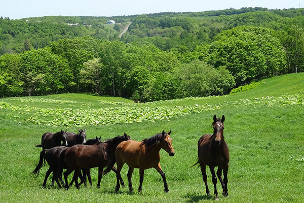 牧場内に広がるおだやかな起伏の草地は馬の成育に最適