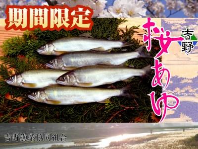 【5001-A18】吉野桜あゆ(新鮮抜群!活〆鮎)10尾入 《吉野漁業協同組合》