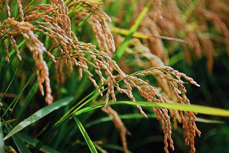 A010-19:今井農場あっぱれ米10kg (玄米)