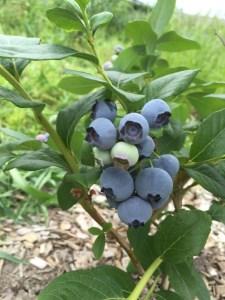 あさみ農園の朝摘みブルーベリー