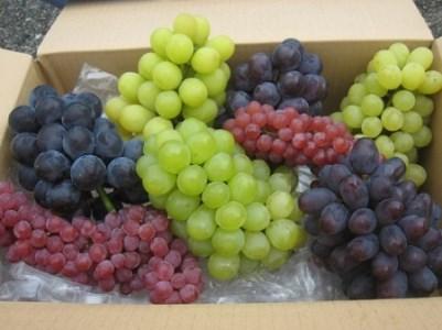 種なしぶどう旬の詰め合わせ ハッピーコース(約4kg)