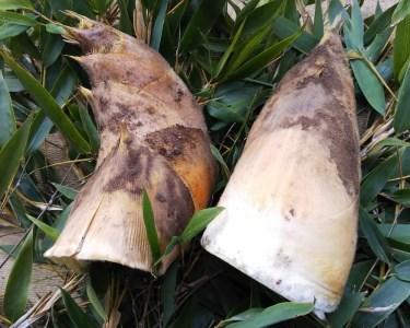 竹の子(約2kg、米ぬか付き)