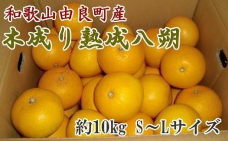 【産直】和歌山由良町産の木成り熟成八朔約10kg(SまたはMサイズをお届け)