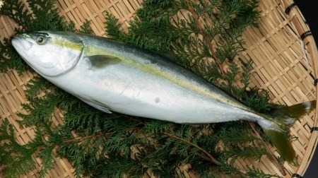 OM-21 獲れたて鮮魚 ハマチ約1kg(1匹)