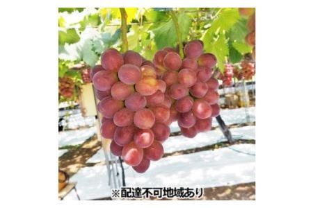 """リアム farm 岡山県産 """"皮ごと食べられる""""マスカットビオレ 1房(600g以上)"""