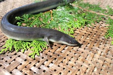 活きた鰻が自宅に届く!A48 森のうなぎ「活鰻1尾」