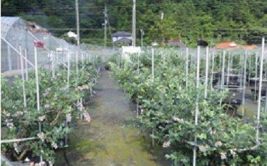 【F013】  秋吉ファームガーデン ブルーベリー収穫体験ペアチケット 【10pt】