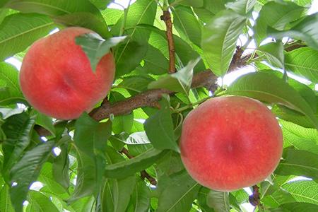 19 飯南の桃
