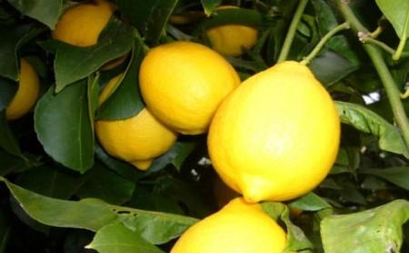 イエローレモン(露地栽培)約2.5kg
