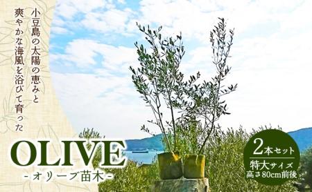 小豆島のオリーブ苗木 2本セット (特大)
