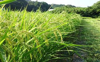 【令和3年産新米・8月配送】すくも産コシヒカリ10kg(期間限定・数量限定・早期予約)