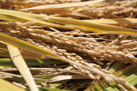 C474 ぶんぶんファーム 自然栽培 ひのひかり 玄米10kg