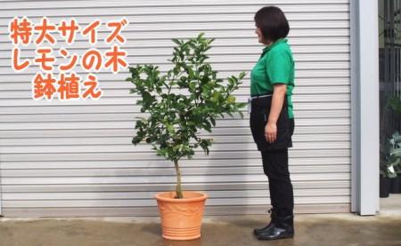 特大サイズ レモンの木鉢植え(テラコッタ40cm)
