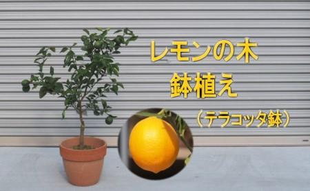 レモンの木鉢植え(テラコッタ30cm)【配送不可:北海道・沖縄・離島】