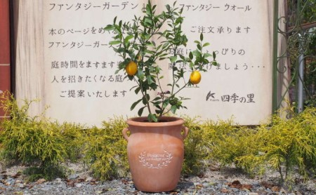 レモンの木鉢植え(つぼ型テラコッタ鉢)【配送不可:北海道・沖縄・離島】