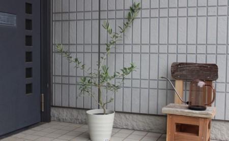 オリーブの木 6号 鉢植え