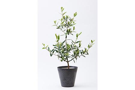 B0-15 鑑賞用オリーブ鉢植え【シンプルでおしゃれな鉢植え】グリーンアドバイザーが厳選!!