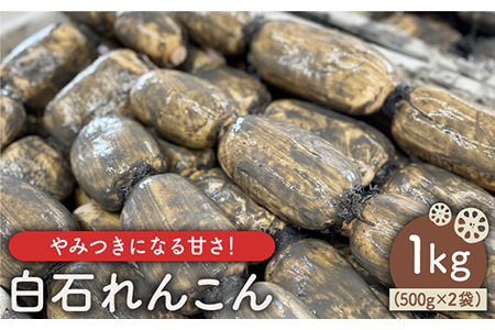 【やみつきになる甘さ!】 松尾青果のこだわり白石れんこん 1kg(500g×2袋入り)【松尾青果】 [IBD002]