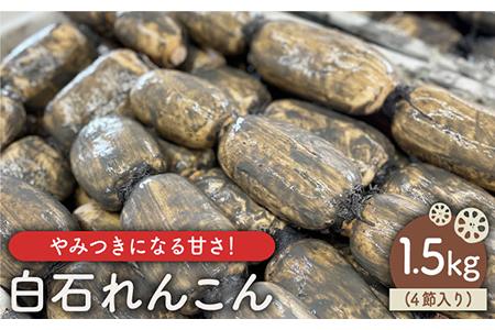 【やみつきになる甘さ!】 松尾青果のこだわり白石れんこん 約1.5kg(4節入り)【松尾青果】 [IBD003]