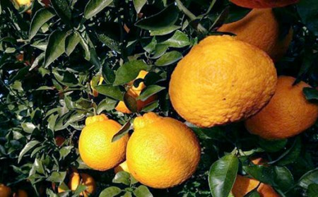 AD022森崎果樹園自慢の『デコポン』(5kg)