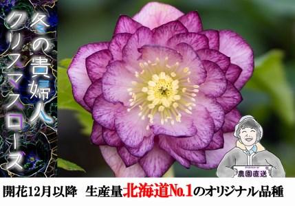 【石黒花園直送】クリスマスローズオリジナルセット(ダブル10鉢・希少種含)北海道生産量No.1