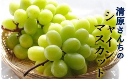 【予約受付開始】清原さんちのシャインマスカット1.5kg