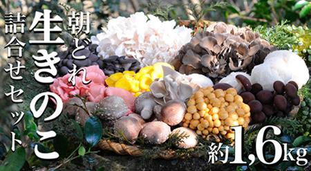 朝どれ生きのこ詰合せセット(約1.6kg:村田椎茸)