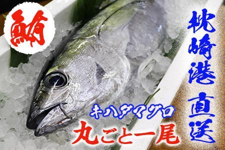 枕崎港 獲れたて キハダマグロ(シビ) まるごと一尾 【配送地域限定】AA-155