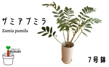 【観葉植物】ザミアプミラ 7号鉢 (前園植物園)