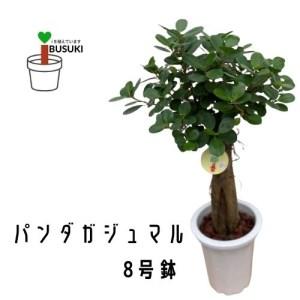 【観葉植物】パンダガジュマル 8号鉢 (前園植物園)