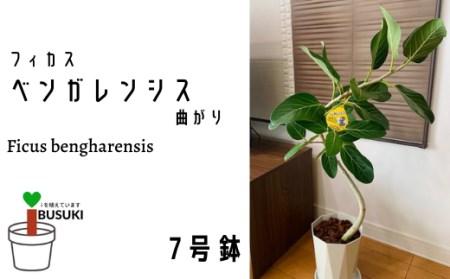 【観葉植物】フィカス・ベンガレンシス7号曲がり(鎌ヶ迫園芸場)T-038