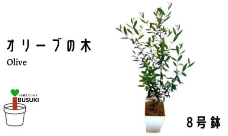 【観葉植物】オリーブの木8号鉢(Green Base)