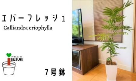 【観葉植物】エバーフレッシュ7号(鎌ヶ迫園芸場)T-047
