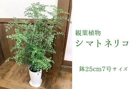 066-07 観葉植物 シマトネリコ1鉢