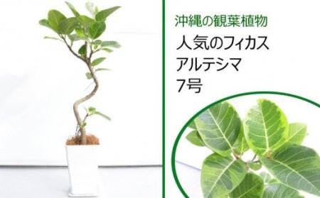 沖縄の観葉植物[人気のフィカス]アルテシマ 7号