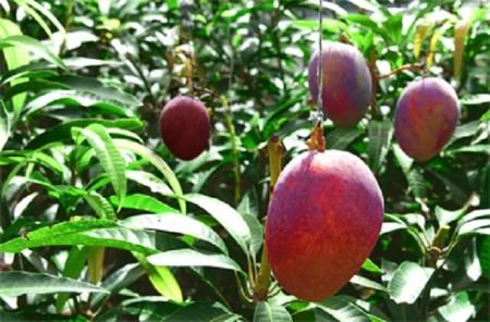 八重瀬町産アップルマンゴー秀品(1kg)期間限定