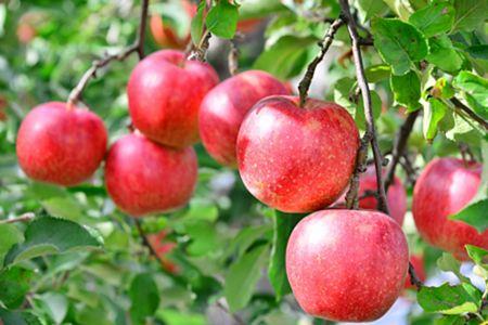 【2623-0002】青森県鰺ヶ沢町【りんご】西樹園のサンふじ※2019年11月下旬から順次お届け