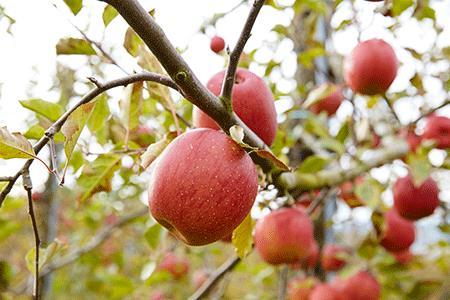 RT669 ご家庭用米崎りんご品種おまかせ3㎏【10~11月発送】
