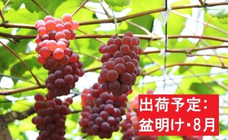 【盆明け・8月】デラウェア約3kg秀L~2L【山形ぶどう・大江町産】