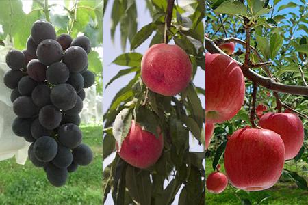 D-1:桑折季節の果物セット(あかつき+川中島+巨峰+サンふじ)