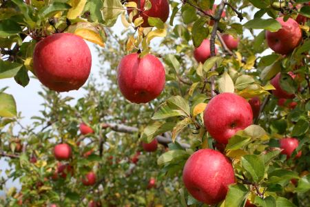 磐梯町産ふじりんご