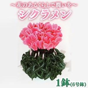 1-1 花のあるくらしで潤いを~ シクラメン 6号鉢 1鉢