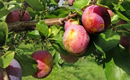 [№5613-0062]峠のふもと紅果園のプルーン約1.8kg【パープルアイ】