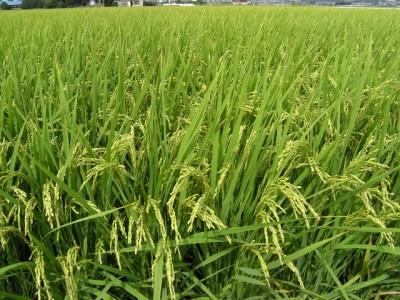 令和2年度産 新米 玄米(さとじまん)30kg
