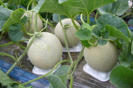【A4-002】【2020年7月発送分】有機栽培『赤肉 街道メロン』1.5kg×2玉